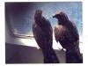 Zwei der Raubvögel, die vor dem Ausläufer eines Wirbelsturms an Bord des Schiffes Schutz gesucht hatten